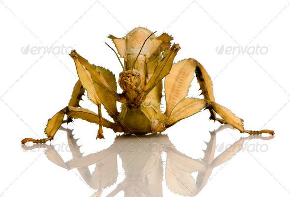 stick insect, Phasmatodea - Extatosoma tiaratum - Stock Photo - Images