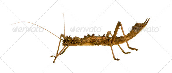 stick insect, Phasmatodea - Aretaon Asperrimus - Stock Photo - Images