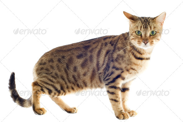 bengal cat - Stock Photo - Images