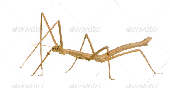 stick insect, Phasmatodea - Medauroidea extradentata - Stock Photo - Images