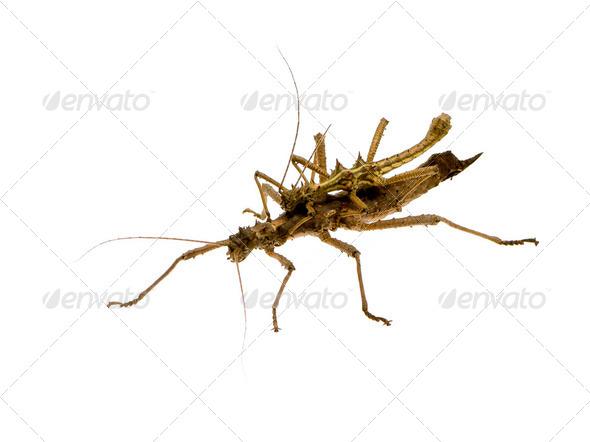 stick insect, Phasmatodea - Aretaon Asperrimus - Stock Photo - Images