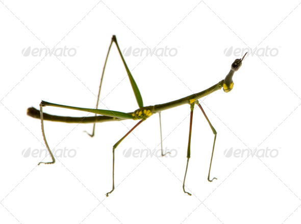 stick insect, Phasmatodea - Oreophoetes peruana - Stock Photo - Images