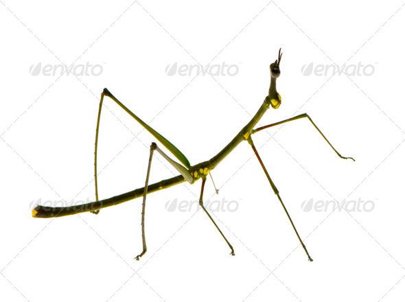 stick insect, Phasmatodea - Oreophoetes peruana - Stock Photo - Images