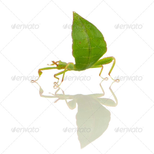 leaf insect, Phylliidae - Phyllium sp - Stock Photo - Images