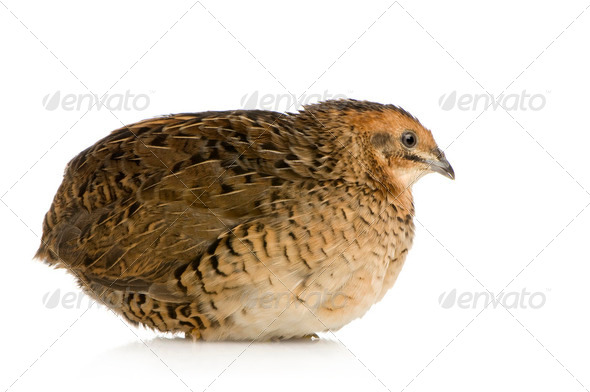Japanese Quail - Coturnix japonica - Stock Photo - Images