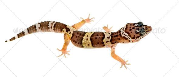 Leopard gecko - Eublepharis macularius - Stock Photo - Images