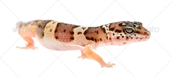 Leopard gecko - Eublepharis macularius - Stock Photo - Images