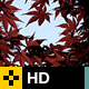 Japanese Maple Tree Leaves in Fall - Clip 1 - VideoHive Item for Sale