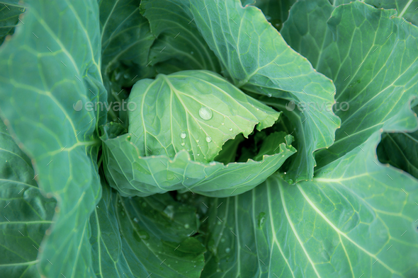 Cabbage on plots with background - Stock Photo - Images