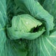 Cabbage on plots with background - PhotoDune Item for Sale