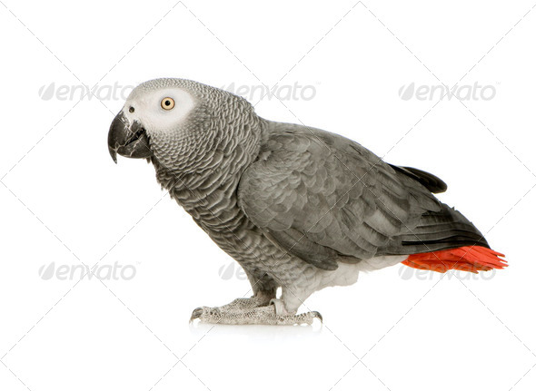 African Grey Parrot - Psittacus erithacus - Stock Photo - Images