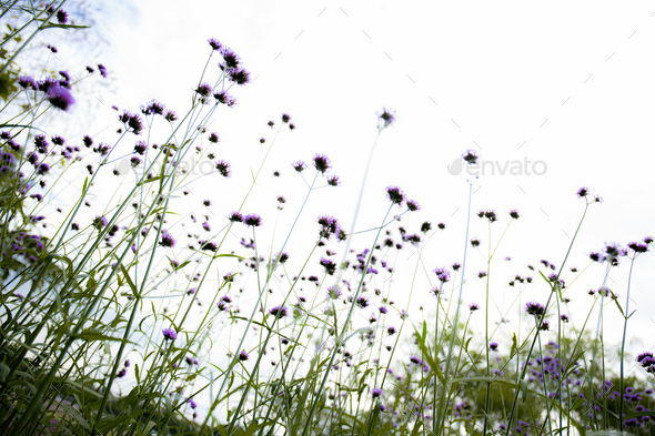 Purple of head flower in field at sky - Stock Photo - Images