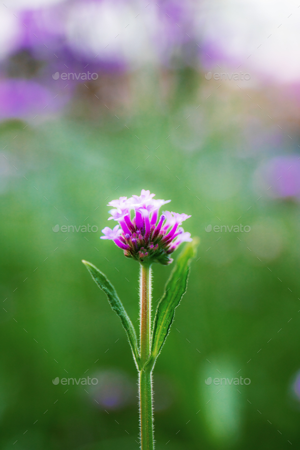 Purple head flower are growing - Stock Photo - Images