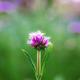Purple head flower are growing - PhotoDune Item for Sale