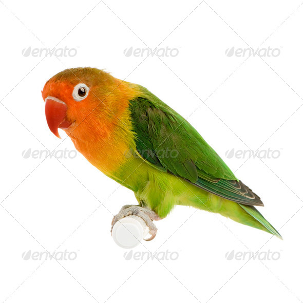 Peach-faced Lovebird - Stock Photo - Images