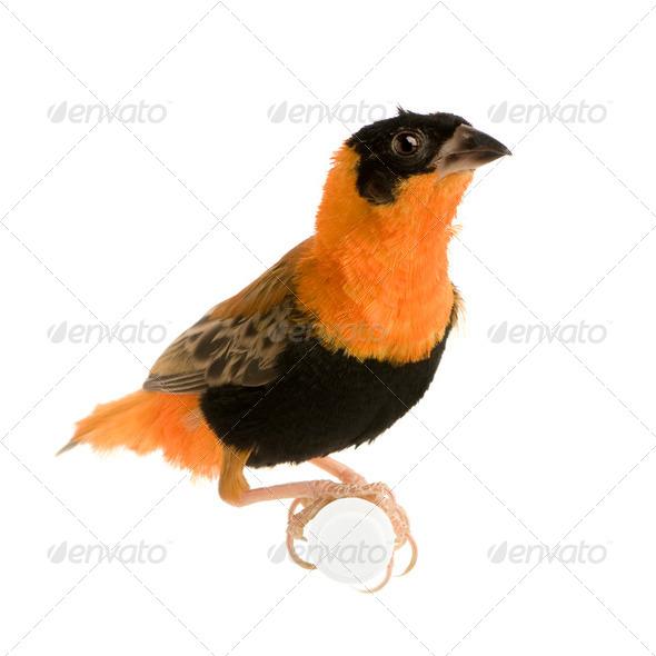 Northern Red Bishop - Euplectes franciscanus - Stock Photo - Images