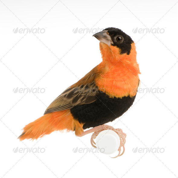 Northern Red Bishop - Euplectes franciscanus - Stock Photo - Images