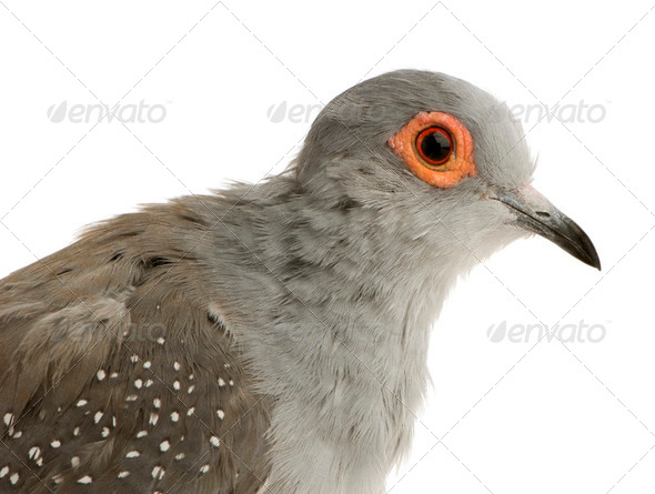 Diamond Dove - Geopelia cuneata - Stock Photo - Images