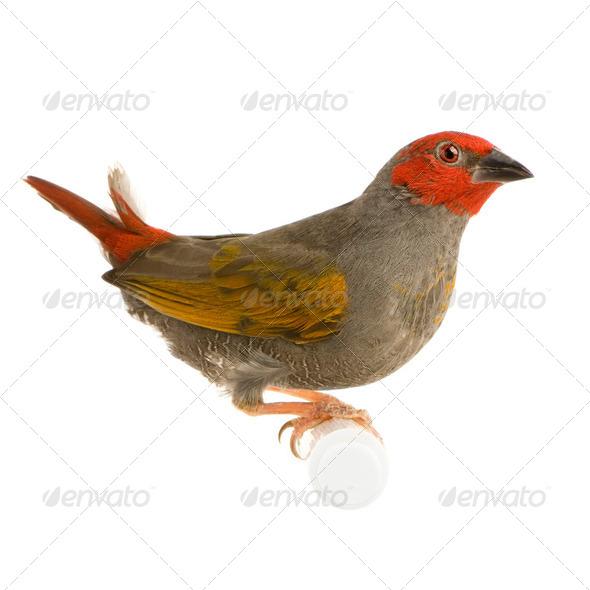 Red-headed Finch - Amadina erythrocephala - Stock Photo - Images