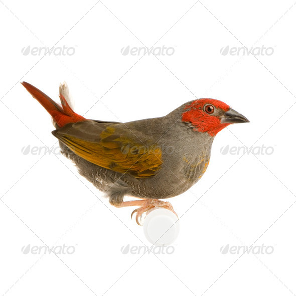 Red-headed Finch - Amadina erythrocephala - Stock Photo - Images