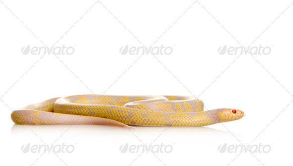 Corn Snake - Elaphe guttata - Stock Photo - Images