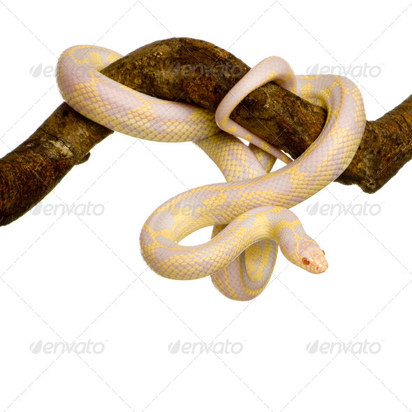 Corn Snake - Elaphe guttata - Stock Photo - Images