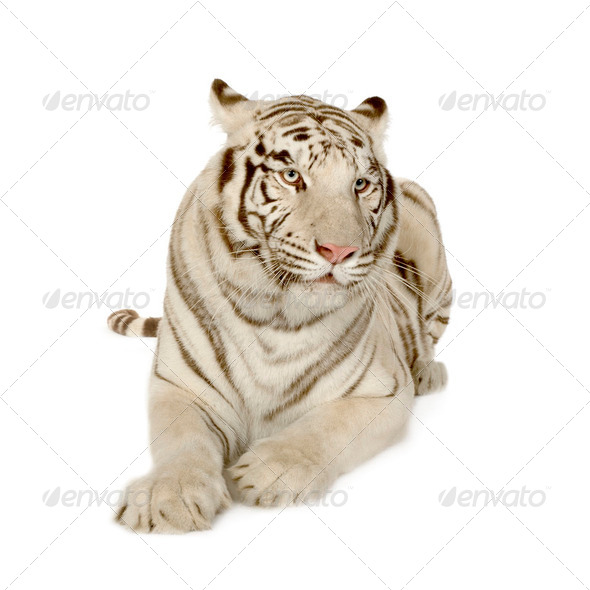White Tiger  (3 years) - Stock Photo - Images