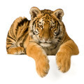 Tiger cub (5 months) - PhotoDune Item for Sale