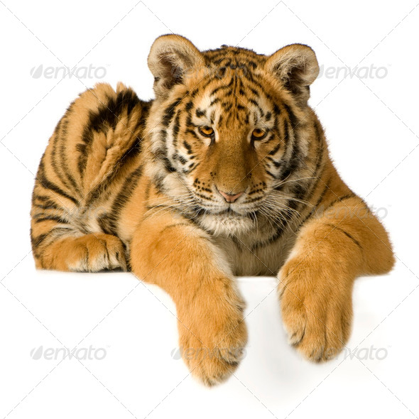 Tiger cub (5 months) - Stock Photo - Images