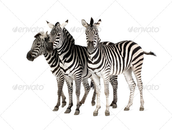 Zebra - Stock Photo - Images