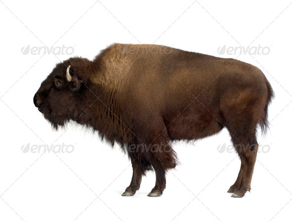 Bison - Stock Photo - Images