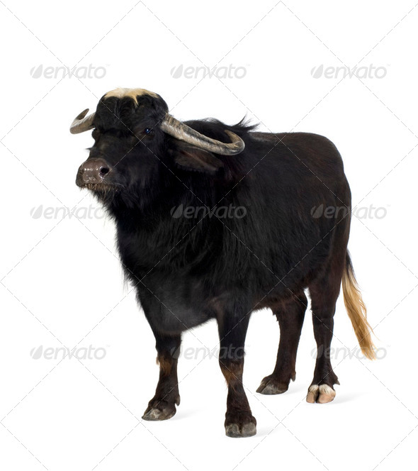Domestic Asian Water buffalo - Bubalus bubalis - Stock Photo - Images