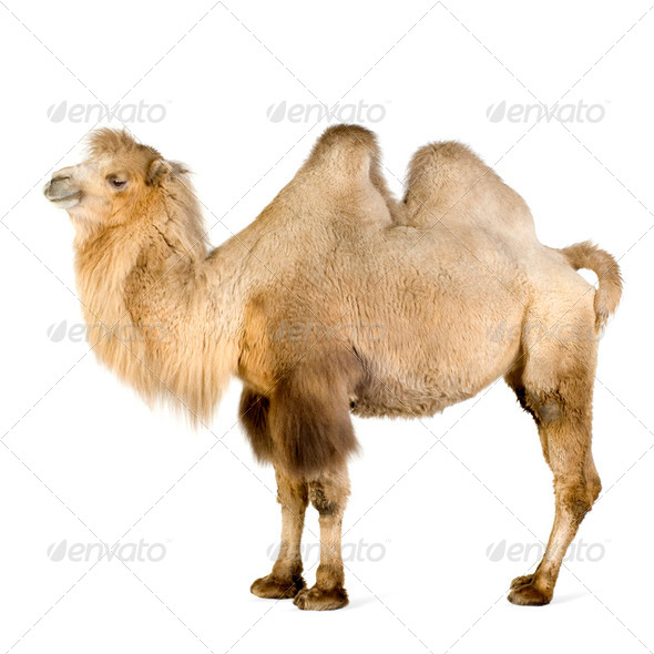 dromedary - Stock Photo - Images