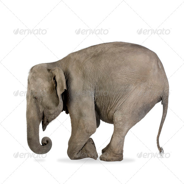 Asian Elephant - Elephas maximus (40 years) - Stock Photo - Images