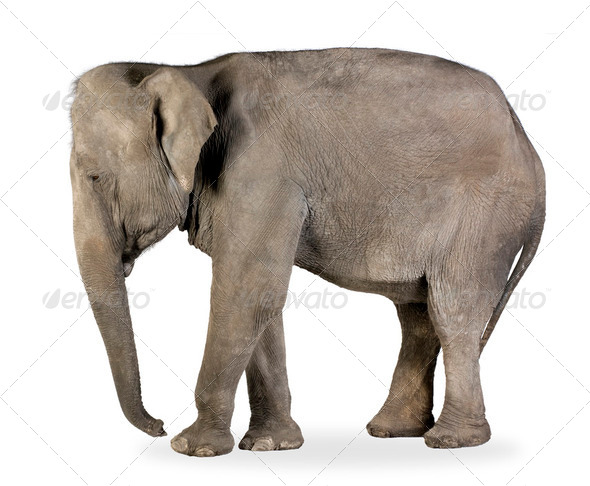 Asian Elephant - Elephas maximus (40 years) - Stock Photo - Images