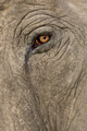 Asian Elephant - Elephas maximus (40 years) - PhotoDune Item for Sale