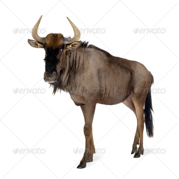 Blue Wildebeest - Connochaetes taurinus - Stock Photo - Images