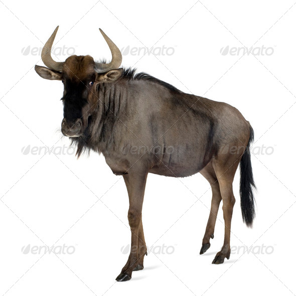 Blue Wildebeest - Connochaetes taurinus - Stock Photo - Images