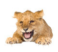 Lion Cub (5 months) - PhotoDune Item for Sale