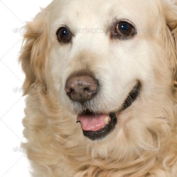 Labrador retriever cream - Stock Photo - Images