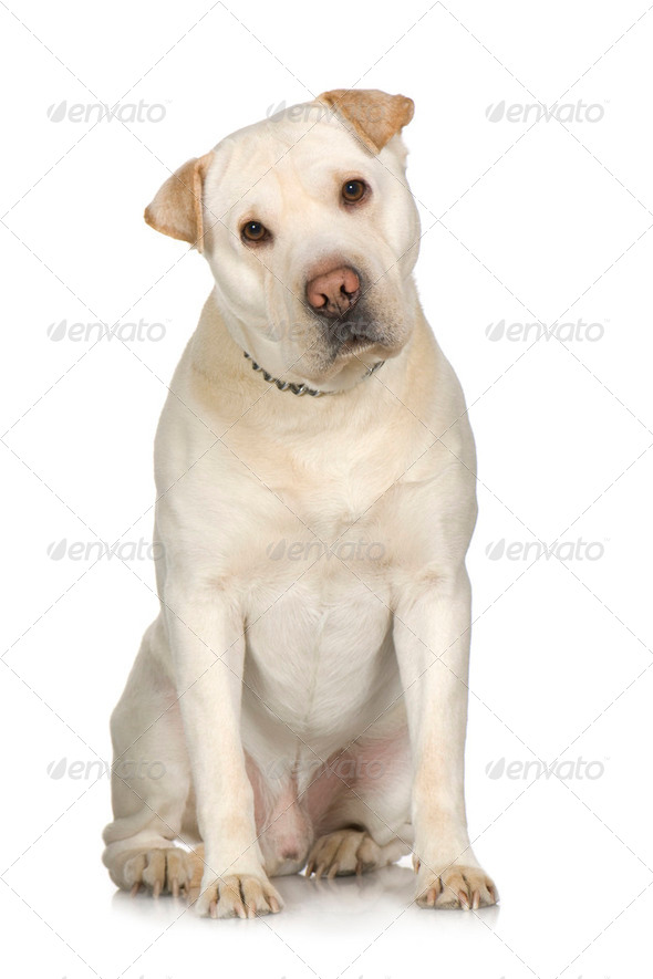 crossbreed between labrador and Sharpei - Stock Photo - Images