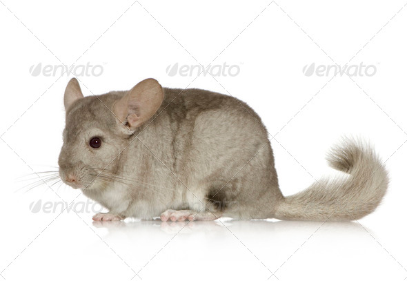 Chinchilla - Stock Photo - Images