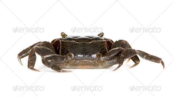 red-clawed crab - Perisesarma bidens - Stock Photo - Images