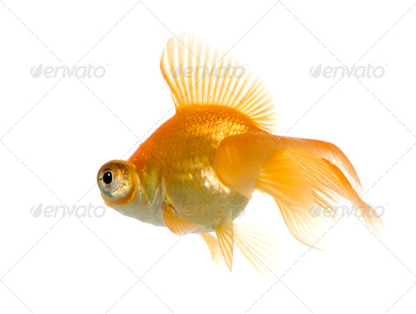 Goldfish - Carassius auratus auratus - Stock Photo - Images