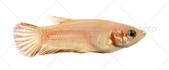 Female Siamese fighting fish - Stock Photo - Images