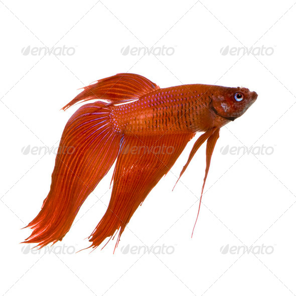 Male Siamese fighting fish - Stock Photo - Images