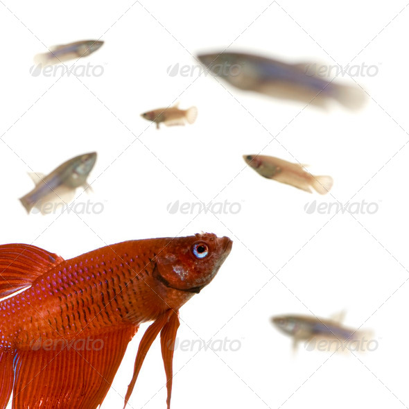 Male and Female Siamese fighting fish - Stock Photo - Images