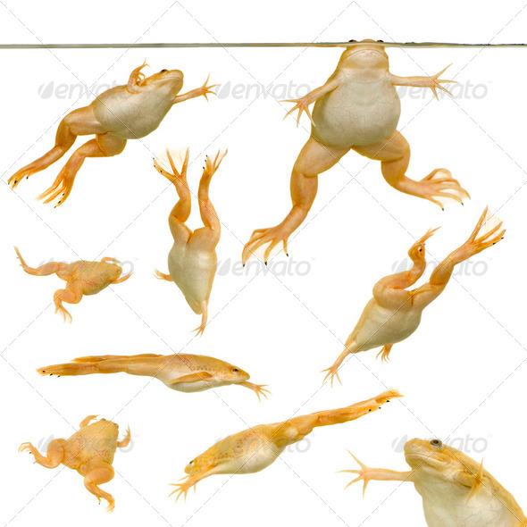 Frog - Xenopus laevis - Stock Photo - Images