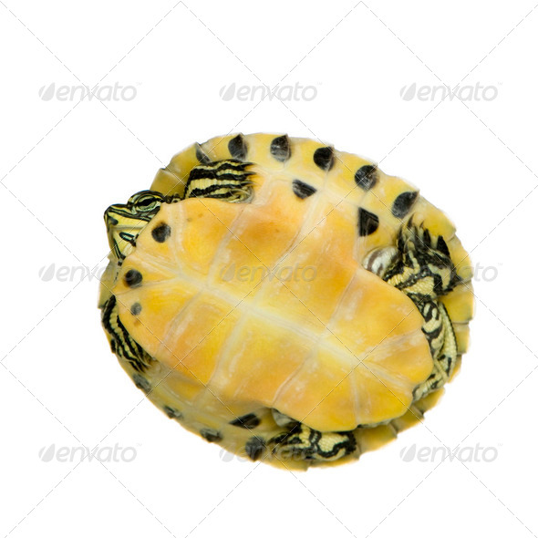 Turtle - trachemys - Stock Photo - Images