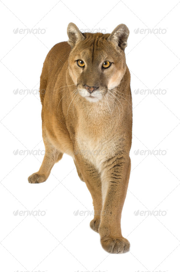 Puma (17 years) - Puma concolor - Stock Photo - Images